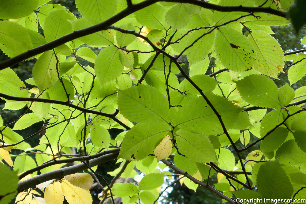 Autumn colours, light through leaves,   Wych Elm<br /> *ADD TO CART FOR LICENSING OPTIONS*