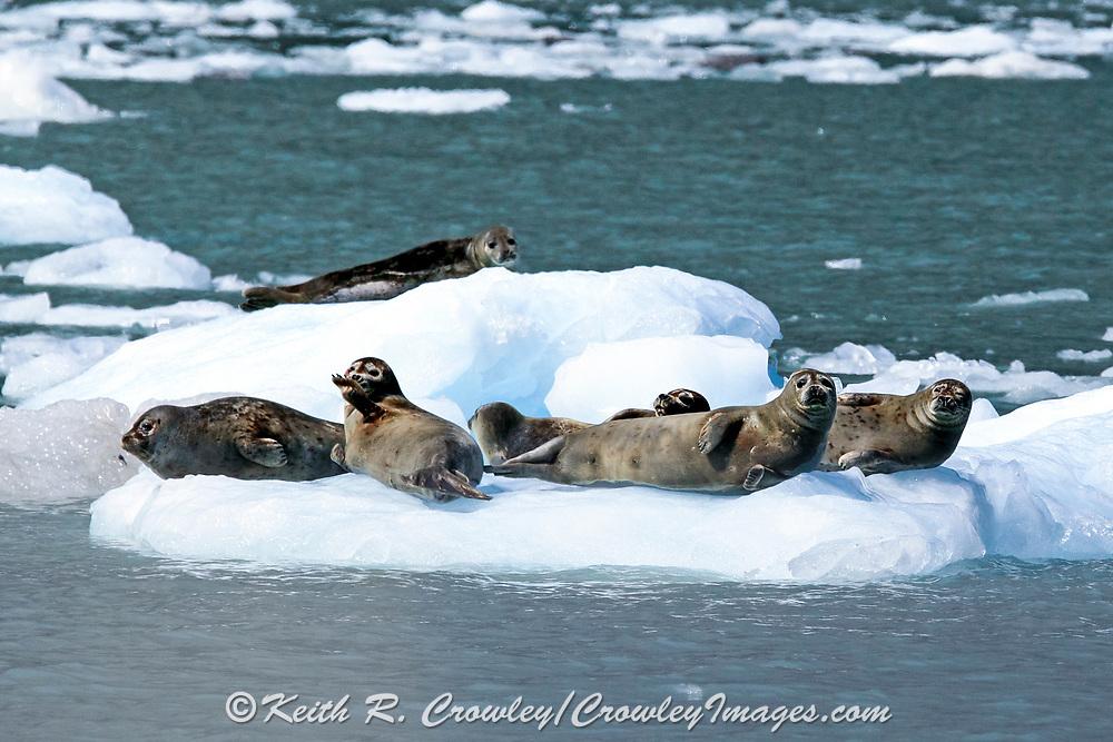 Harbor seals rest on an ice floe in coastal Alaska
