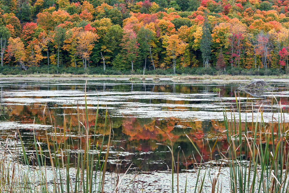 Fall foliage from maple trees is reflected in the Beaver Pond at Gatineau Park in Gatineau, Québec, Canada.  Photographed from the Gatineau Parkway during the Fall Rhapsody festival at Gatineau Park.