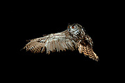 European Eagle Owl, Bubo bubo, KENT UK, flying, taking off, high speed photographic technique, natural, wings open, on of the worlds largest owl, nocturnal, Eurasian