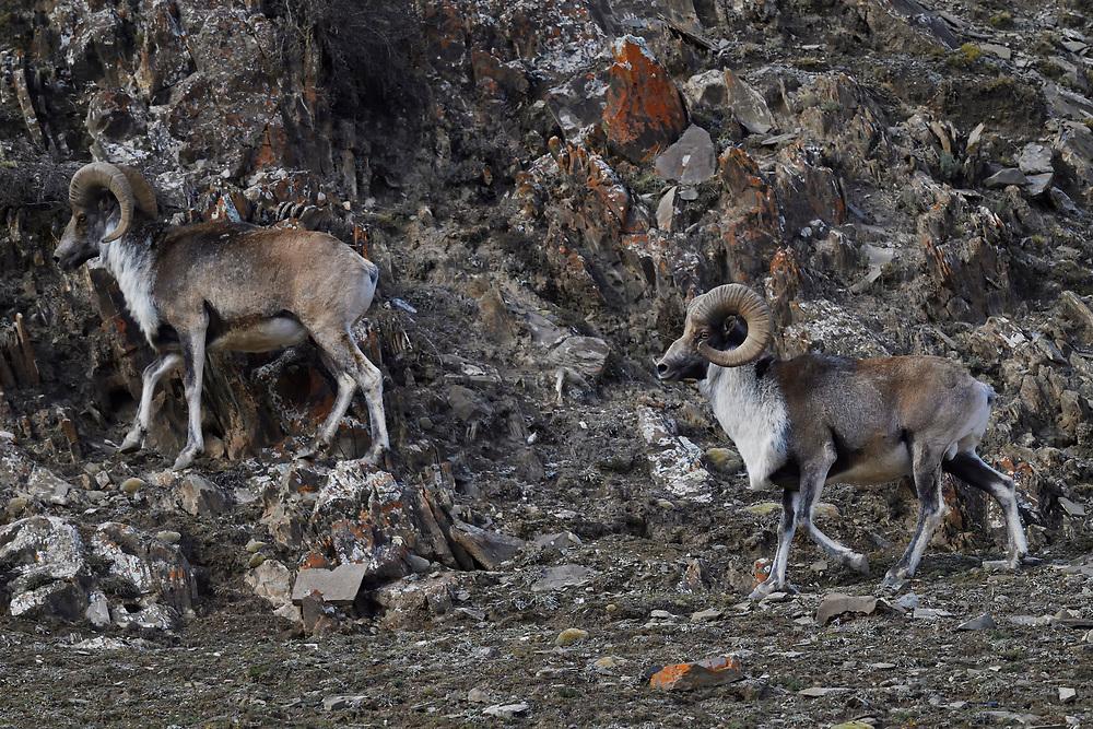 Two Argali, or the mountain sheep (Ovis ammon), walking in the mountains of Zhidua, Tibetan Plateau, Qinghai, China