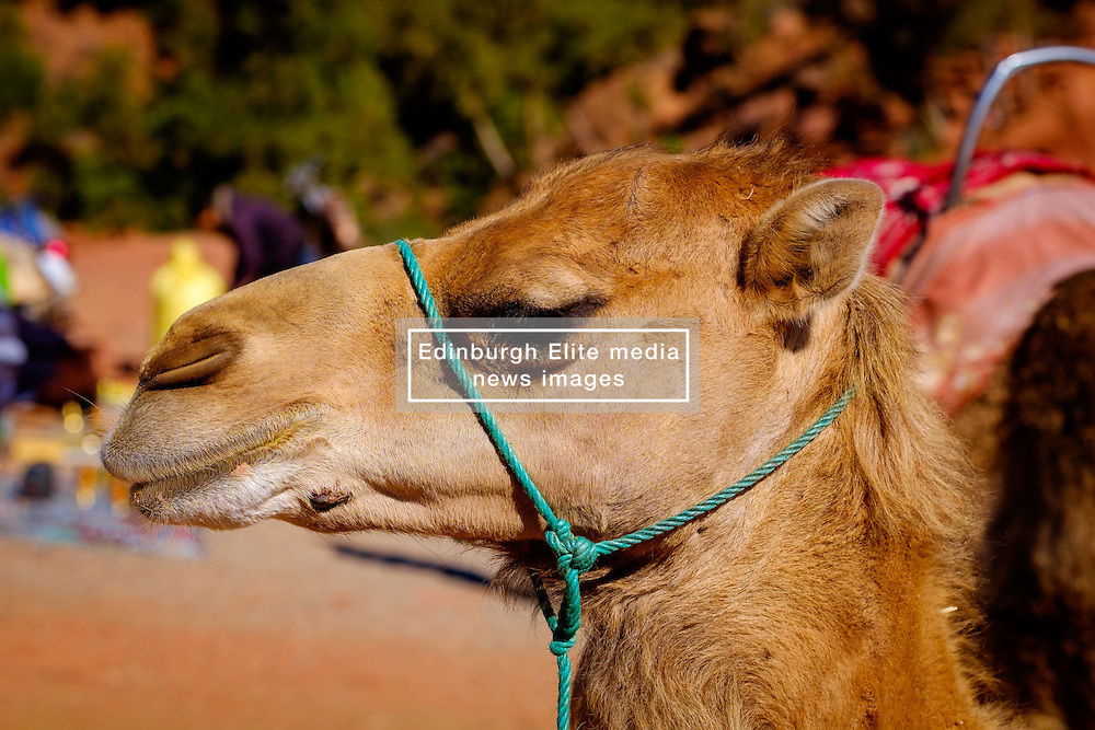 A portrait of a camel in the Ourika Valley, Morocco, North Africa<br /> <br /> (c) Andrew Wilson | Edinburgh Elite media