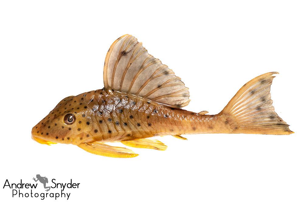 Plecostomus (Hypostomus macushi) - Surama, Guyana