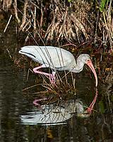 White Ibis (Eudocimus albus). Black Point Wildlife Drive, Merritt Island Wildlife Refuge. Merritt Island, Brevard County, Florida. Image taken with a Nikon D3 camera and 80-400 mm VR lens.