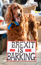 "© Licensed to London News Pictures. 07/10/2018. London, UK. A Red Setter stands with a sign saying Brexit is Barking as  pro-remain dog owners march to Parliament to demand a ""People's Vote"" on the final Brexit agreement.  Photo credit: Peter Macdiarmid/LNP"