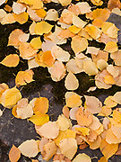 Golden color of Paper Birch leaves, Betula papyrifera, carpeting the bank of the Middle Fork Flathead National Scenic River near Cascadilla Creek, John Stevens Canyon, Theodore Roosevelt Pass, Flathead National Forest, Montana.