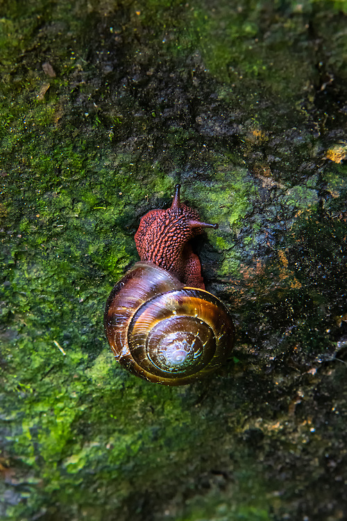 This highly attractive terrestrial snail can be found near streams in the rainy forests of the Pacific Northwest from California to Alaska, and is mainly crepuscular (active at dawn and dusk) during the wet spring and fall. This particularly colorful individual was found by lucky accident in Oregon's Cascade Mountains just east of Eugene.