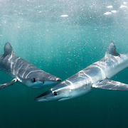 Blue sharks (Prionace glauca), two, in the open ocean off Rhode Island, USA.