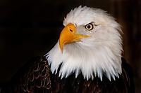 Bald eagle (Haliaeetus leucocephalus), Alaska Wildlife Foundation, Ketchikan, Alaska USA