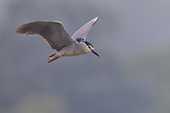 Adult Black-crowned Night Heron flying, Nycticorax nycticorax, East Lake Greenway park, Wuhan, Hubei, China