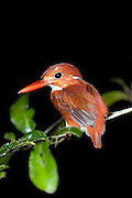 Madagascar Pygmy Kingfisher, Ispidina Madagascariensis, perched on branch at night, Palmarium, Ankanin'ny Nofy, Madagascar