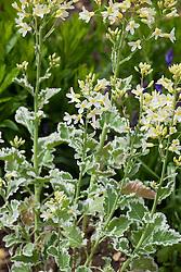 Brassica oleracea 'Crème Chantilly'. Ornamental cabbage