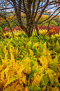 Ferns displaying autumnal yellow colors among red blueberry bushes and the gnarled tress of the high plains of the Dolly Sods Wilderness Area in West Virginia.