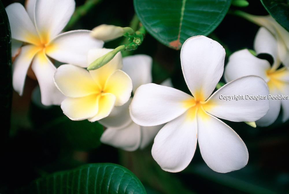 Plumeria, Hawaii<br />