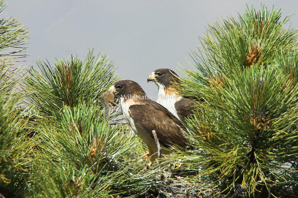 Short-tailed Hawk (Buteo brachyurus) adults, at the nest with prey (Cliff Chipmunk, Eutamias dorsalis); Arizona, (Nesting Record)