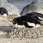 Adelie Penguins #2, Cape Royds, Antarctica