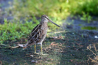 Common Snipe (Gallinago gallinago), Green Cay Nature Area, Florida Photo: Peter Llewellyn