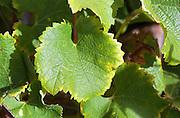 A Semillon leaf   at harvest time  Chateau Raymond Lafon, Meslier, Sauternes, Bordeaux, Aquitaine, Gironde, France, Europe