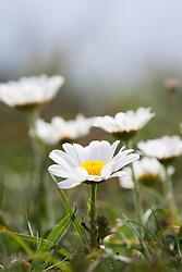 Ox eye daisy growing as miniature form on windy cliffs at The Lizard Peninsula, Cornwall. Ox eye daisies.  Leucanthemum vulgare