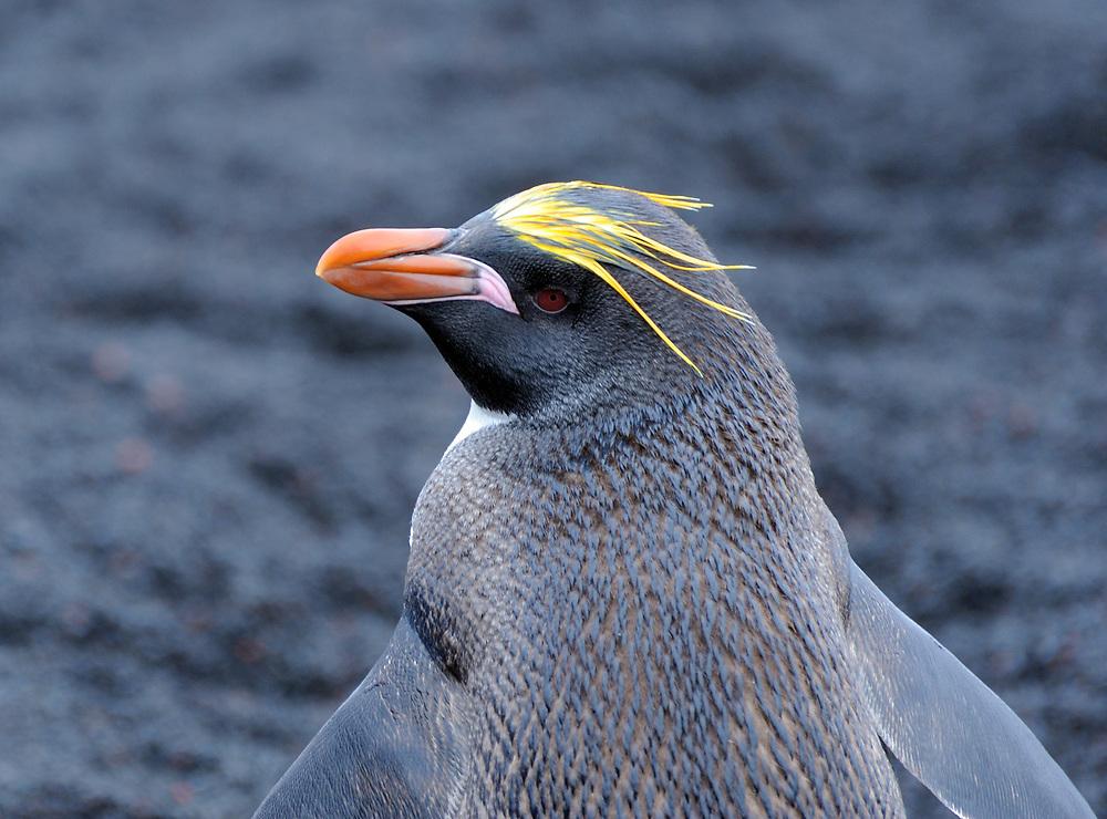 Portrait of a macaroni penguin (Eudyptes chrysolophus) on black volcanic sand. Saunders Island, South Sandwich Islands. South Atlantic Ocean. 25Feb16