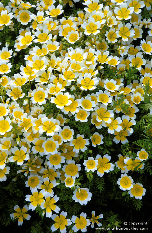 Limnanthes douglasii<br /> Poached egg plant<br /> Attractive to bees