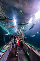 Sharks, Aquarium of the Bay, Fisherman's Wharf, San Francisco, California USA