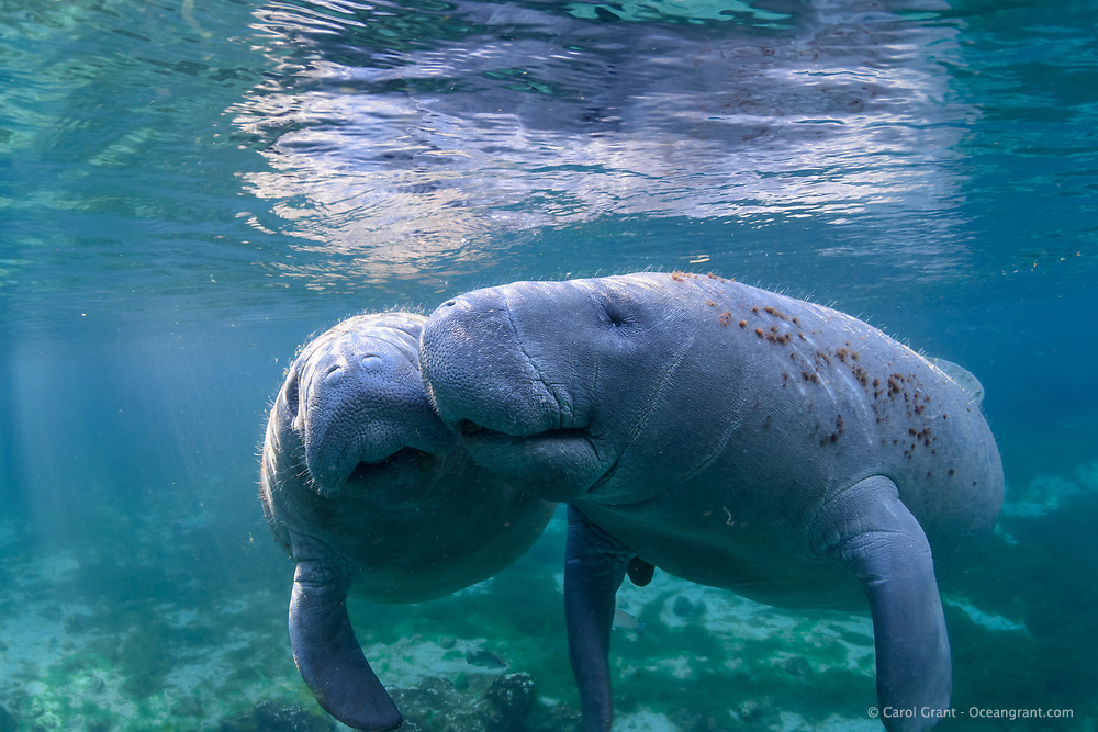 A male and female manatee nuzzle in the warm water and warm Florida sunlight. Cavorting is what researchers call this friendly behavior and it goes on often in the springs. This is a recent image from March 2018. Florida manatee, Trichechus manatus latirostris, a subspecies of the West Indian manatee, endangered. Three Sisters Springs, Crystal River National Wildlife Refuge, Kings Bay, Crystal River, Citrus County, Florida USA. IUCN Red List: Endangered. USFWS implemented downlisting to Threatened 2017: http://www.iucnredlist.org/details/22106/0.