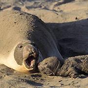 Northern EleNorthern Elephant Seal, (Mirounga angustirostris)  Female with newborn pup. California.phant Seal, (Mirounga angustirostris)  Female with newborn pup. California.