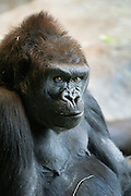 Alafia, an adult female Western lowland gorilla (Gorilla gorilla gorilla), an endangered species, looks out from the Gorilla Group 1 enclosure at the Woodland Park Zoo in Seattle, Washington.