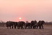 African elephants, Loxodonta africana, at sunset.