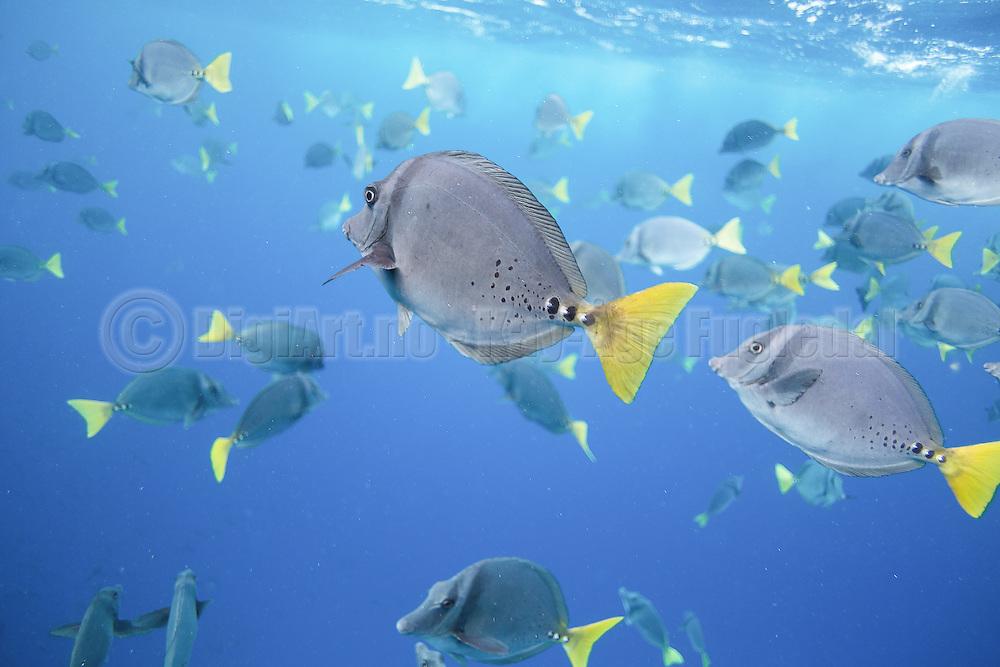 A school of Razor surgeonfish (Prionurus laticlavius) captured during snorkeling at Galapagos | En stim med tropisk fisk fotografert under snorkling på Galapagos ved øya Floreana.