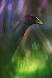Tasmanian Nativehen (Gallinula mortierii) endemic bird of Tasmania. Bruny Island, Tasmania, Australia