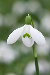 Galanthus nivalis 'Sam Arnott' AGM