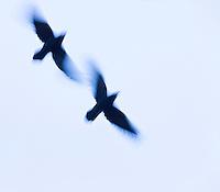 RAVEN, CUERVO (Corvus corax), Rhayader, Mid Wales, United Kingdom