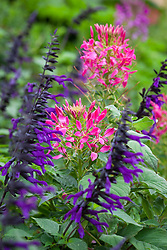 Cleome hassleriana 'Rose Queen' with Salvia 'Amistad'