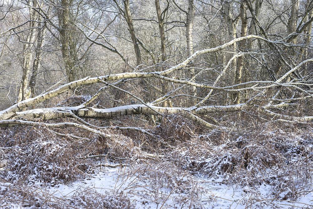 A fallen birch in the snow