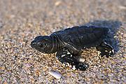Kemp's ridley sea turtle hatchling, <br /> Lepidochelys kempii ( Endangered Species ),<br /> crawls across beach toward the ocean,<br /> Rancho Nuevo Mexico ( Gulf of Mexico )
