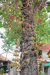 Cannon-ball Tree Flower, Royal Palace