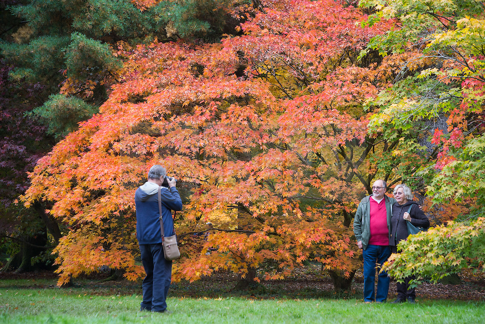© Licensed to London News Pictures 21/10/2016, Westonbirt, UK. Caption: The national Arboretum, Westonbirt, visitors stroll through the trees in their rich autumn colours, taking pictures and enjoying the annual spectacle. Photo Credit : Stephen Shepherd/LNP