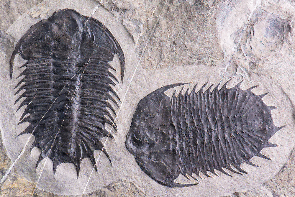 This is a superb and very rare specimen of Olenoides superbus (total length: 154mm and 148mm) from the Middle Cambrian strata of Utah. It is unique in that it is the only double ever discovered; and it is a double showing both the dorsal and ventral aspects.