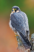 A Peregrine Falcon is sitting on a tree stump in the Scottish Highlands in the Cairngorms National Park, Scotland