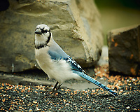 Blue Jay. Image taken with a Nikon D4 camera and 600 mm f/4 VR lens (ISO 360, 600 mm, f/4, 1/200 sec).