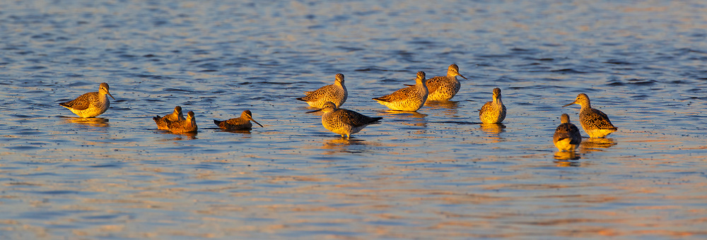 A flock of greater yellowlegs (Tringa melanoleuca) forage in the Stillaguamish River near Stanwood, Washington. Greater yellowlegs feed on insects, small fish, marine worms, and crustaceans, sometimes using their bills to stir up water.