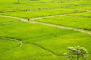 Near Pokahara, a woman walks through lush rice fields.