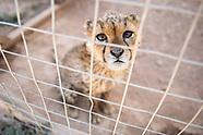 The Illegal Cheetah Trade