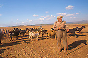 Mature Bedouin shepherd with his herd of sheep. Photographed in the Negev Desert, Israel