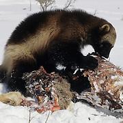 Wolverine adult feeding on a deer carcass. Rocky Mountains, Captive Animal