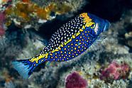 White-spotted boxfish (Ostracion meleagris)