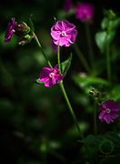 A Red campion flower in the shade of a forest on a sunny spring day