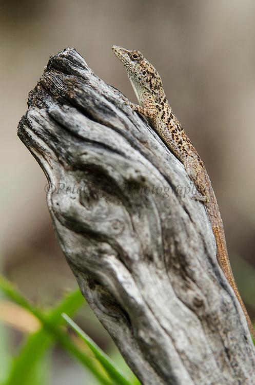 Ruthven's Anole (Anolis bonairensis)<br /> BONAIRE, Netherlands Antilles, Caribbean<br /> HABITAT & DISTRIBUTION: Found in trees or logs.<br /> Endemica to Bonaire & Klein Bonaire